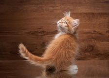 Cat. red highland kitten on mirror and wooden texture Stock Photos