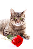 Cat with red rose Royalty Free Stock Photo