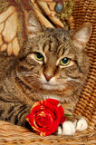 Cat with red rose royalty free stock photography