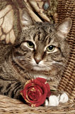 Cat with red rose Royalty Free Stock Image