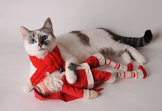 Cat in red scarf with Santa Claus on a light background. Blue eyed cat wearing red scarf with Santa Claus on a light background Stock Images