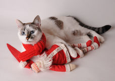 Cat in red scarf with Santa Claus on a light background. Blue eyed cat wearing red scarf with Santa Claus on a light background Stock Image