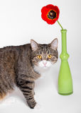 Cat and red Tulip Stock Photo