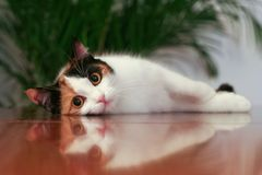 Cat reflection. A cat lying on a reflective surface of a piano... a plant is in the background Stock Images