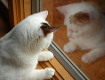 Cat reflection. A cat staring out the window with a reflection royalty free stock photos
