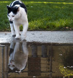 Cat with Reflection. A cat gets a drink of water from a puddle Royalty Free Stock Image