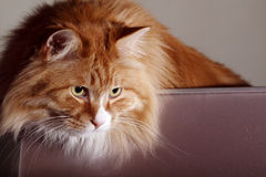 Cat indoors Royalty Free Stock Image