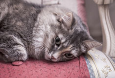 Cat relax and laying on a chair Royalty Free Stock Photography