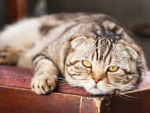 Cat relaxes lying on a chair. Tired fat lazy Scottish Fold cat rests and relaxes lying on a chair royalty free stock photos