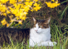 Cat Relaxes Under Bright Flower Bush In Home Garden Royalty Free Stock Photography