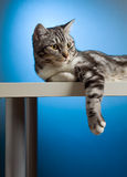 Cat relaxing. Picture of cat relaxing on the table Stock Image