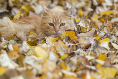 Cat relaxing on autumn leaves Stock Photo