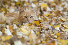 Cat relaxing on autumn leaves Royalty Free Stock Photo