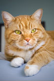 Cat relaxing on a bed. Orange colored tabby cat relaxing on the edge of a bed Stock Photography