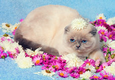 Cat relaxing on blue blanket Royalty Free Stock Photo