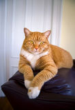 Cat relaxing on couch. Orange colored tabby cat relaxing on a couch Royalty Free Stock Photography