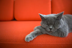 Cat relaxing on the couch. Grey British Shorthair cat sleeping on a couch Royalty Free Stock Images