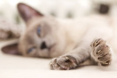 Cat Relaxing: Focus is on her feet. A sweet photograph of a siamese cat relaxing as her eyes begin to close. Her face is blurred in the background while her royalty free stock image