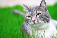 Cat relaxing on the grass. Green-eyed Cat in full growth on a background of a grass Stock Photography