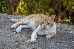 Cat. Relaxing and looking at you with his piercing eyes. Red  lying on a patio wall outside.Cute  enjoying himself outdoors royalty free stock photography
