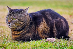 A cat is relaxing on the meadow Royalty Free Stock Photos