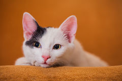 Cat relaxing on sofa Stock Image