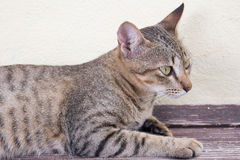 Cat relaxing. A tiger (tabby) cat relaxing at front yard Royalty Free Stock Images