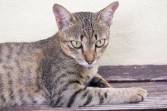 Cat relaxing. A tiger (tabby) cat relaxing at front yard Royalty Free Stock Photo