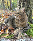 Cat Relaxing in the Woods. A beautiful Highland Lynx cat resting at the base of a tree in the woods.  This breed crosses it's paws when lying down Royalty Free Stock Image