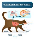 Cat respiratory system, vet anatomy vector illustration poster with lungs and capillary diagram scheme. Cat inner organ labeled cross section royalty free illustration