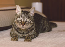 Cat rest on a bet at home. Cat is looking at camera royalty free stock image