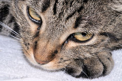 Cat resting. Tiger-striped cat resting her head on her paw Stock Images