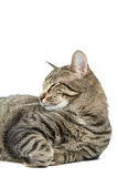 Cat Resting. Beautiful Striped Cat Resting Isolated on a White Background royalty free stock image