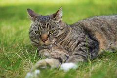Cat resting. A cat resting in the grass Stock Photo