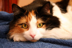 Cat Resting. Closeup of Colourful Cat Resting royalty free stock images