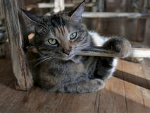 Cat resting and bathing in morning sunlight with paw on chair of same color pattern Royalty Free Stock Photo