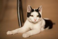 Cat. Resting black and white cat Stock Photo