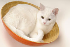 Cat resting in bowls. Beautiful little white kitty cat having fun Stock Image