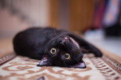 Cat resting on the carpet Stock Image