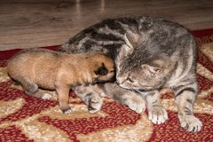 Cat, resting cat with dog. Cat, resting cat with dog, cute funny cat close up, domestic cat, relaxing cat, cat resting, cat playing at home, elegant cat Royalty Free Stock Photo