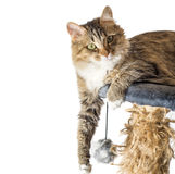 Cat, resting cat on a sofa in background, cute funny cat close up, young playful cat on a bed, domestic cat. Cat, resting cat on a sofa in isolate background Royalty Free Stock Image