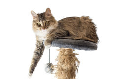 Cat, resting cat on a sofa in background, cute funny cat close up, young playful cat on a bed, domestic cat. Cat, resting cat on a sofa in isolate background Royalty Free Stock Photography
