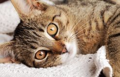Cat resting Royalty Free Stock Photo