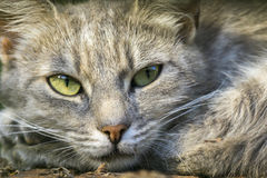 Cat Resting Closeup. Closeup of beautiful resting cat Stock Images