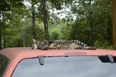 Cat Resting en el top del camión en Missouri Imagenes de archivo