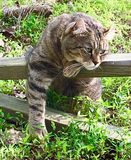 Cat Resting on a Fence. A beautiful Highland Lynx cat draped across a fence looking for prey royalty free stock photos