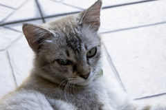 The cat. A cat resting on the floor Royalty Free Stock Photography