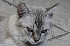 The cat. A cat resting on the floor Royalty Free Stock Images