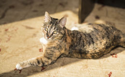 Cat Resting on Floor in the Sunshine Royalty Free Stock Image