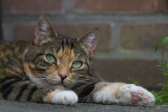 Cat resting in the garden. A torti tabby cat resting in the shadow Stock Photography